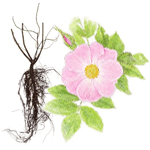 Wild rose root extract