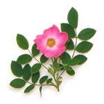 Wild rose flower extract