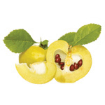 Quince extract