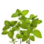 Melissa leaf